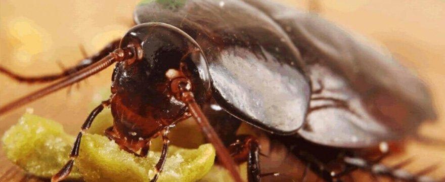 disinfestazioni scarafaggi con Verceidea Group